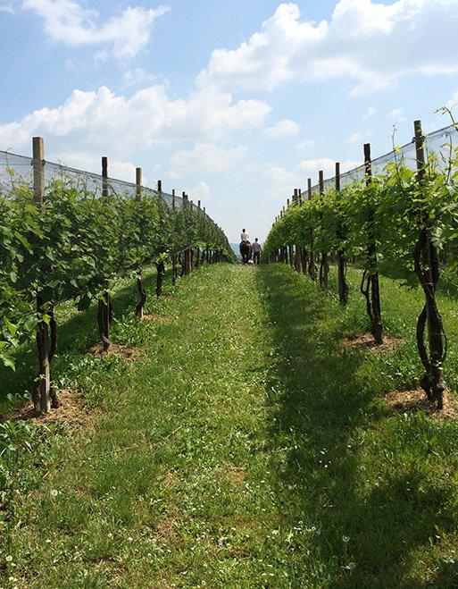 トレビーゾ、ヴァルドッビアーデネのリバ・デ・ミランの葡萄畑